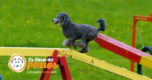 Agility perro corriendo