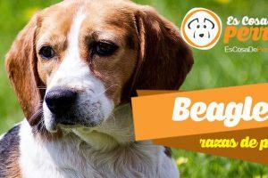 Beagle perro
