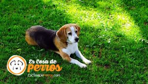 Beagle-perro-raza