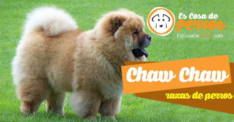 Chaw Chaw raza de perro
