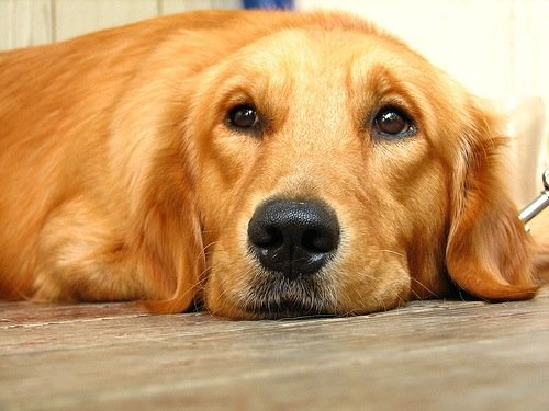 Golden-Retriever-2
