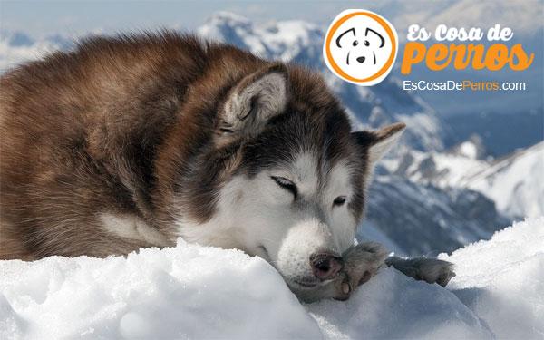 Husky Siberiano raza