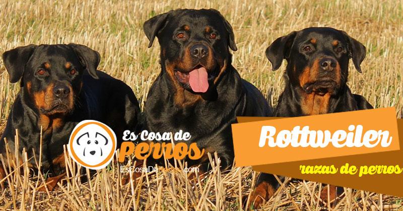 Rottweiler raza de perros