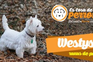 Westys perro