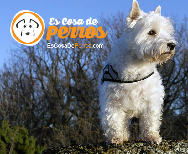 Westys-perro