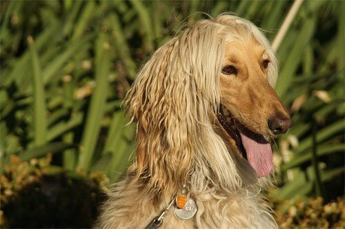 perro raza afgano