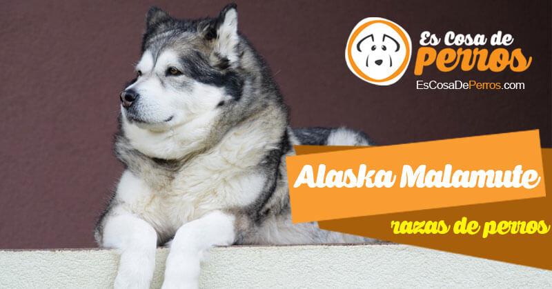 alaska malamute raza