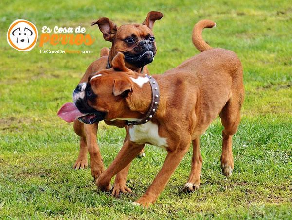 boxer jugando
