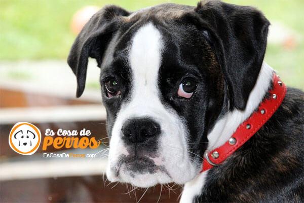 cara de perro boxer