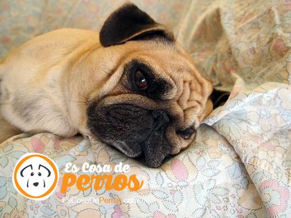 carlino-perro
