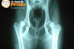 displasia-cadera-perro