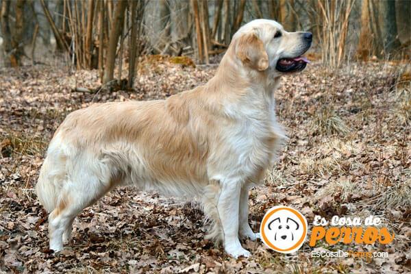 displasia-cadera-perro-golden