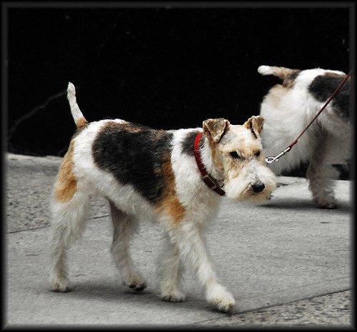 Fox-Terrier-perro