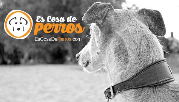 galgo-espanol-perro
