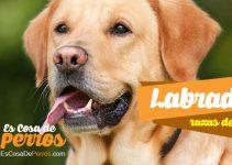 perro labrador raza