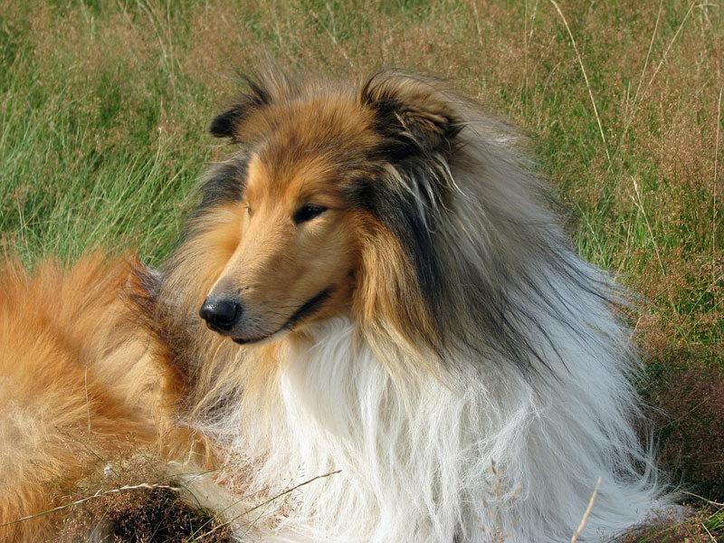 Lassie un perro de pelicula