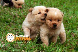 perrillos pequeños
