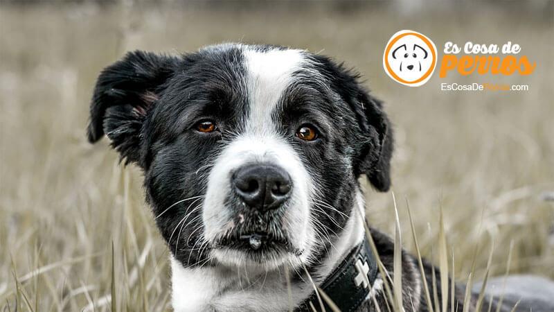 perro espigas campo