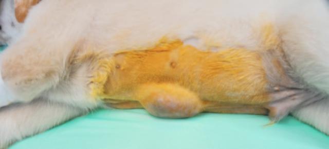 hernia umbilical perro