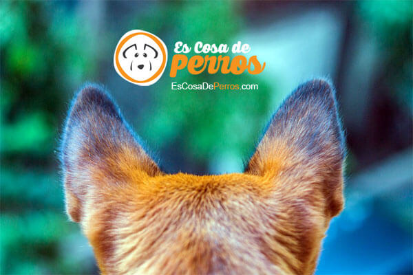 perro otitis orejas