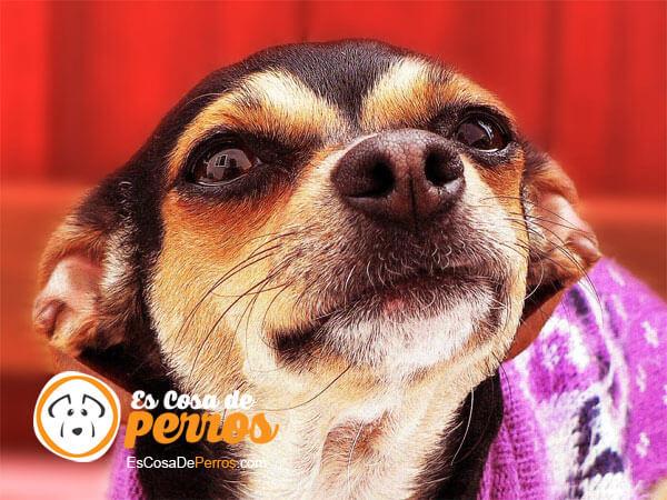 perro orejas otitis