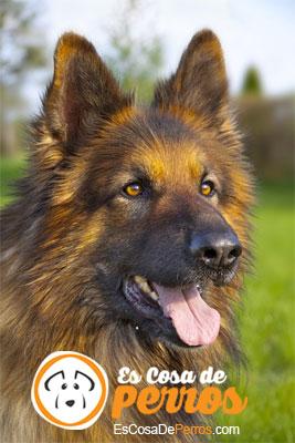 perro pastor aleman pelo