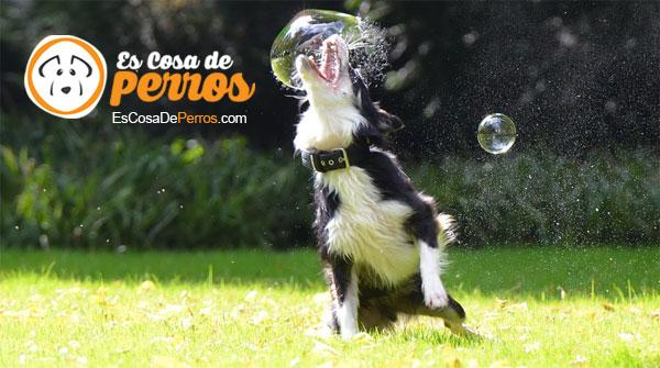 perro jugando pompa