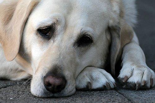 perro triste porque