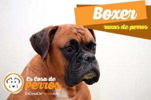 boxer raza de perro