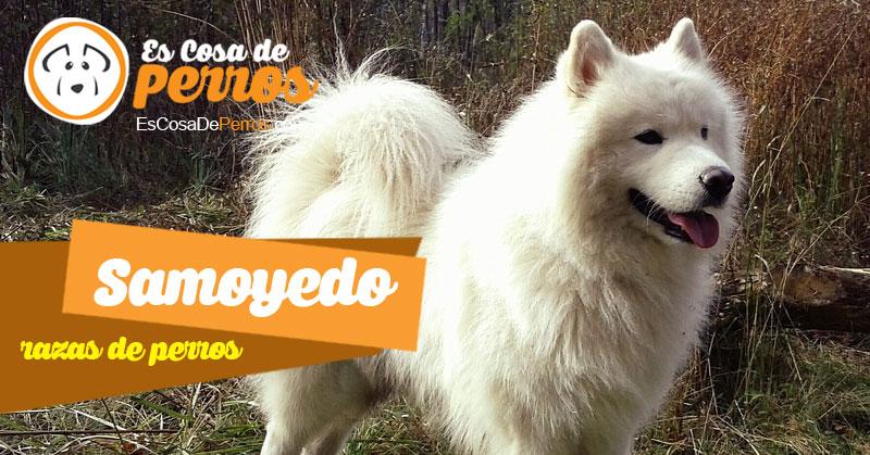samoyedo raza de perros