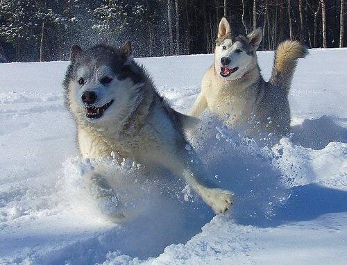 alaska en nieve